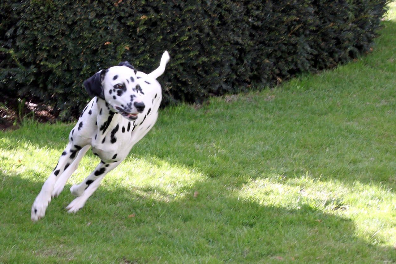 Dalmatiner läuft über eine grüne Wiese.