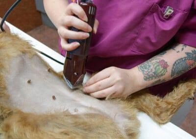 Der nächste Schritt vor der endoskopischen Kastration: der Bauch der Hündin wird rasiert.