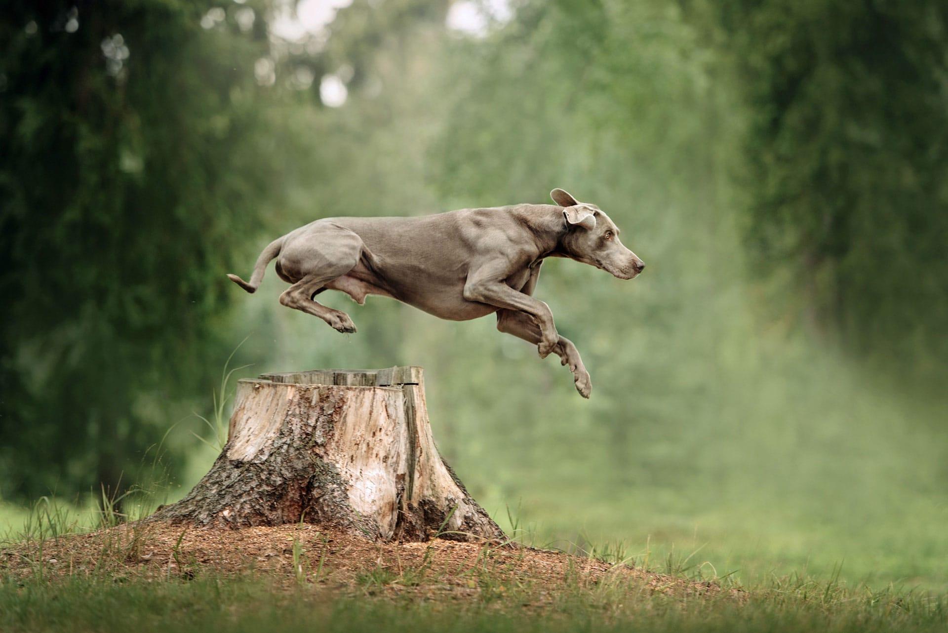 Hund setzt zum Sprung an und springt über einen Baumstumpf