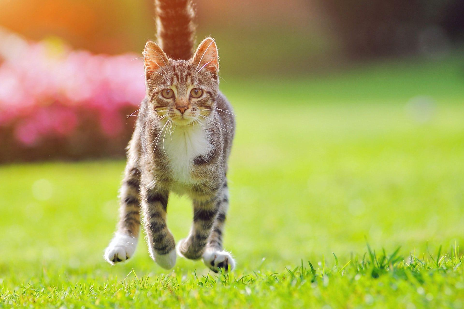 Katze springt über eine Wiese