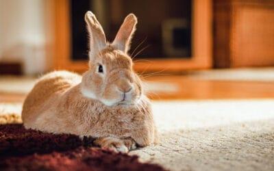 Kaninchen, Meerschweinchen und Nager: unkomplizierte Kastration