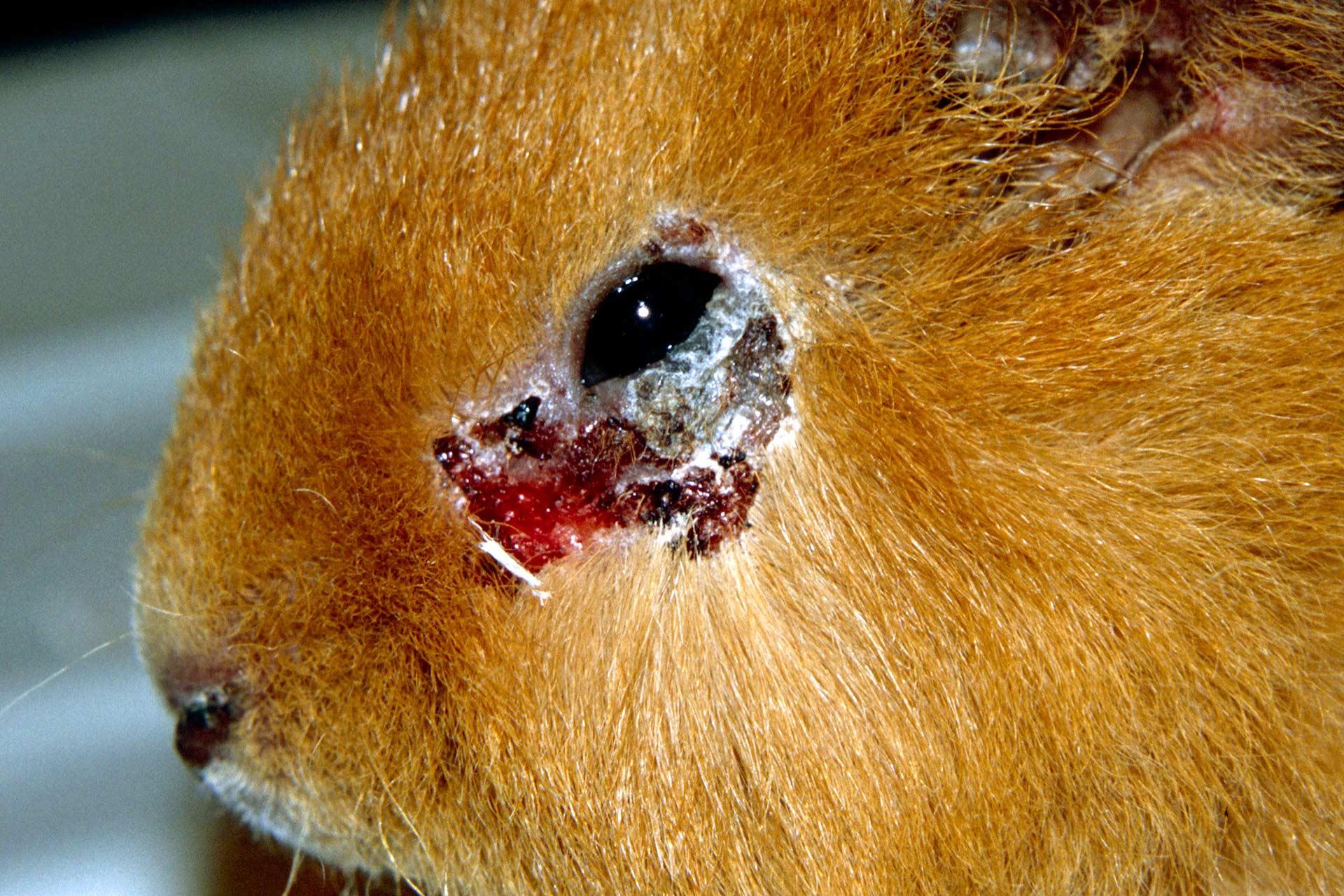 Die Dermatophytose ist eine ansteckende Krankheit für alle Säugetiere.