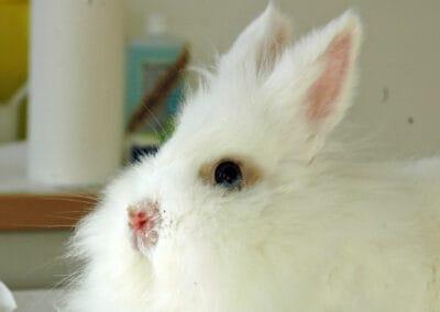 Die Mauke des Kaninchen ist durch einen Vitaminmangel bedingt.